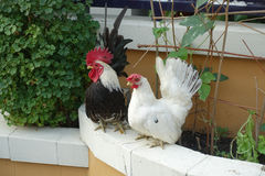 Chickens. Male and female in house Stock Images