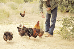 Chickens. Man feeding small flock of chickens stock image