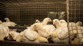 Three-week chickens at the poultry farm. Chickens of meat breed in a cage at poultry farm royalty free stock photo