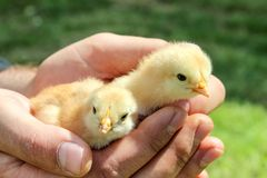 Chickens in men's hands on background of green grass, close up. Stock Photography
