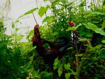 Chickens with natural river Stock Photography