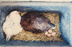 Chickens nesting Royalty Free Stock Photo