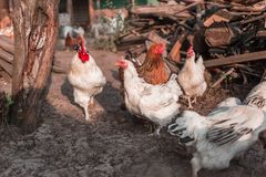 Chickens in the farmyard. Chickens in the old farmyard Stock Photo