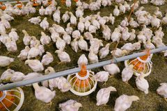 Free Chickens On A Farm Stock Photo - 132676580