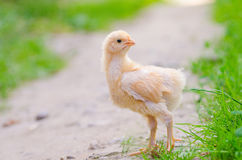Free Chickens On A Grass Stock Photography - 67173392