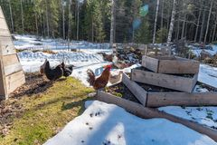 Chickens out walking in a garden with gras and snow. In sweden spring 2019 royalty free stock photography