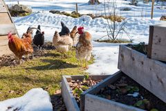 Chickens out walking in a garden with gras and snow. In sweden spring 2019 royalty free stock images