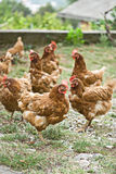 Chickens outside farm Stock Photo