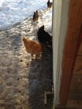 Chickens in the path. A flock of chickens walking and eating in the snow in the winter beside the barn Stock Photos