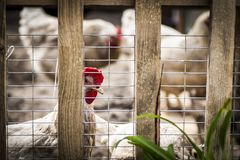 Chickens in the pen. Chickens in a pen on a farm in the open air stock photo