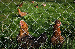 Chickens Royalty Free Stock Photo