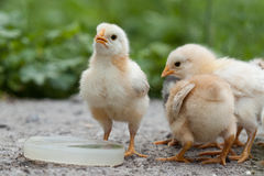 Chickens. Playing in the yard Royalty Free Stock Image