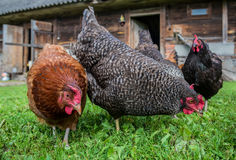Chickens in Poland Royalty Free Stock Photos