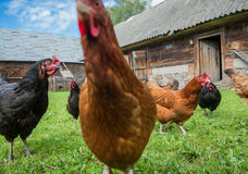 Chickens in Poland Stock Photos