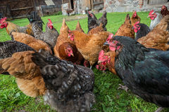 Chickens in Poland stock images