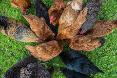 Chickens in Poland. Free range chicken farm in a village in Poland royalty free stock photos