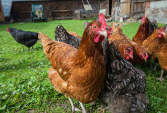 Chickens in Poland. Free range chicken farm in a village in Poland royalty free stock photo