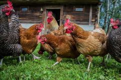 Chickens in Poland stock photo