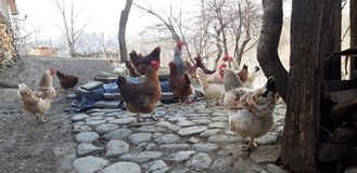 The chickens on the picture. The chickens posed in the grandparents yard to the country royalty free stock photo