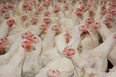 Chickens . Poultry farm Royalty Free Stock Image