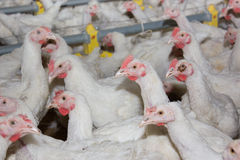 Chickens . Poultry farm. Chickens  in the poultry farm Stock Images