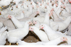 Chickens . Poultry farm. Chickens  in the poultry farm Royalty Free Stock Images