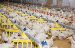 Chickens . Poultry farm Stock Images