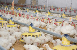 Chickens . Poultry farm Stock Image