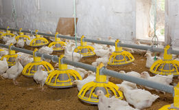 Chickens . Poultry farm Stock Photography