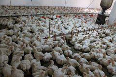 Chickens at the poultry farm, industrial  Stock Images