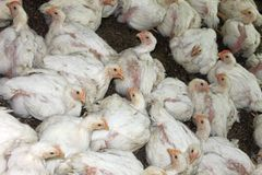 Chickens at the poultry farm, industrial cultivation  Royalty Free Stock Image