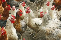 Chickens on the poultry yard Royalty Free Stock Photos