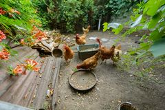Chickens in the poultry yard eating Royalty Free Stock Photography