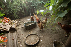 Chickens in the poultry yard eating Royalty Free Stock Images