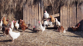 Chickens at the poultry yard on a farm Stock Photography