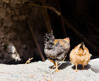Chickens reared in the home garden Stock Photography