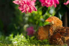 Chickens Resting on Green Lawn Royalty Free Stock Images
