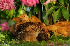 Chickens Resting Under Peony Bush Stock Photo