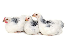 Chickens resting on white background. Chickens is resting on a white background Stock Photography