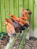 Chickens on the Roost in Pecking Order. Chickens like to seek a high perch on which to sleep to stay safe at night stock images