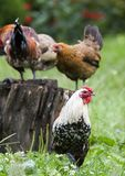 Chickens and rooster Royalty Free Stock Photography