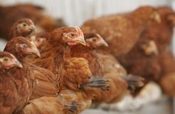 Chickens and rooster Stock Photography