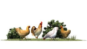 Chickens and rooster in grass and bushes Royalty Free Stock Image