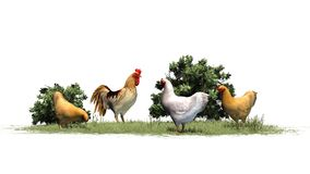 Chickens and rooster in grass and bushes Stock Image
