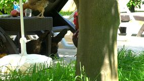 Chickens and a rooster peck apples. On the background of sun beds and loungers stock footage