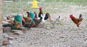Chickens and roosters. Stock Photography