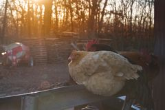 Chickens roosting near sunset with a sun flare Royalty Free Stock Photos