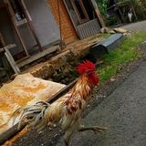 Chickens run around feeling to forage royalty free stock photo