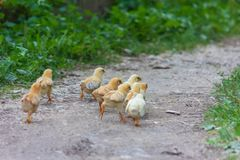 Chickens run away along the path. On a summer morning royalty free stock photo