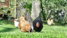 Chickens Stock Photo